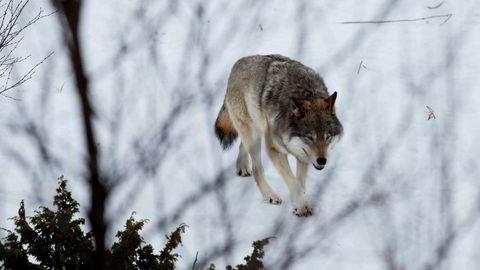 Ulveforliket satte et måltall på lave tre ynglinger per år. Vedtaket er kun politisk basert og skal angivelig sikre en «levedyktig norsk bestand», skriver artikkelforfatteren. Her er ulv på Langedrag.