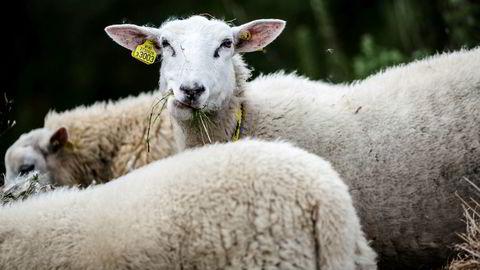 «Den norske tilskuddsordningen for ull utgjør et særnorsk støtteregime», skriver advokatfirmaet Thommessen i et brev til Landbruksdepartementet.