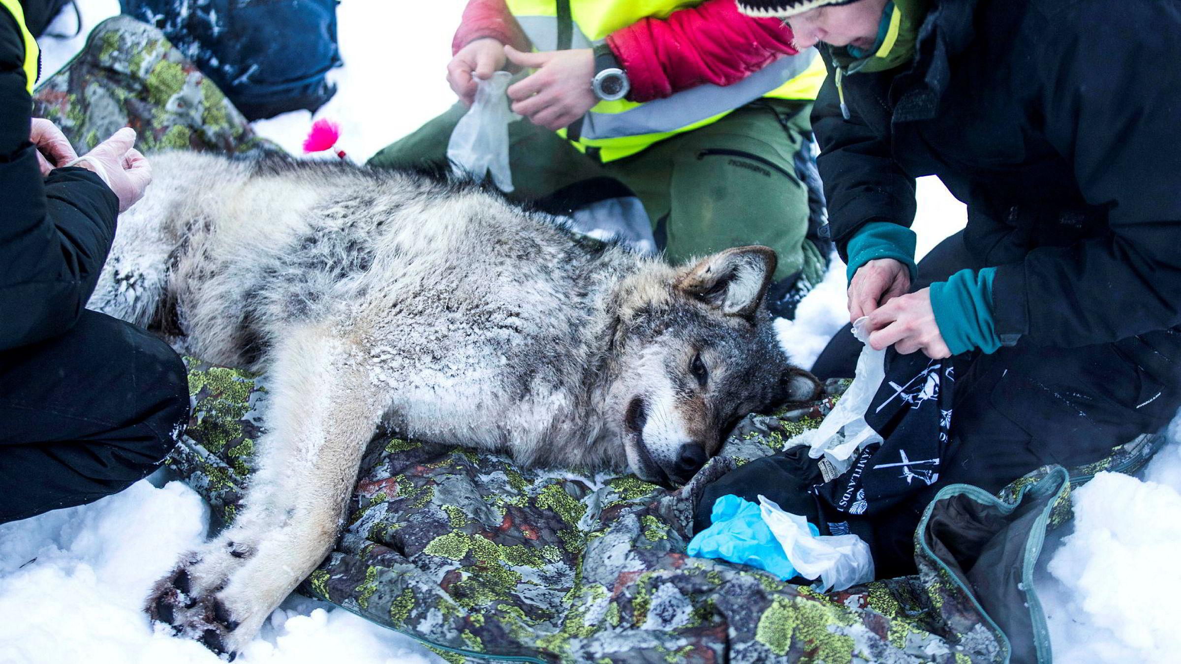 Selv om det vanskelig lar seg dokumentere at ulven er en trussel mot mennesker, er nok frykten berettiget mange steder i Hedmark, skriver artikkelforfatteren. Her fra merking av ulv i Slettås-området i Trysil.