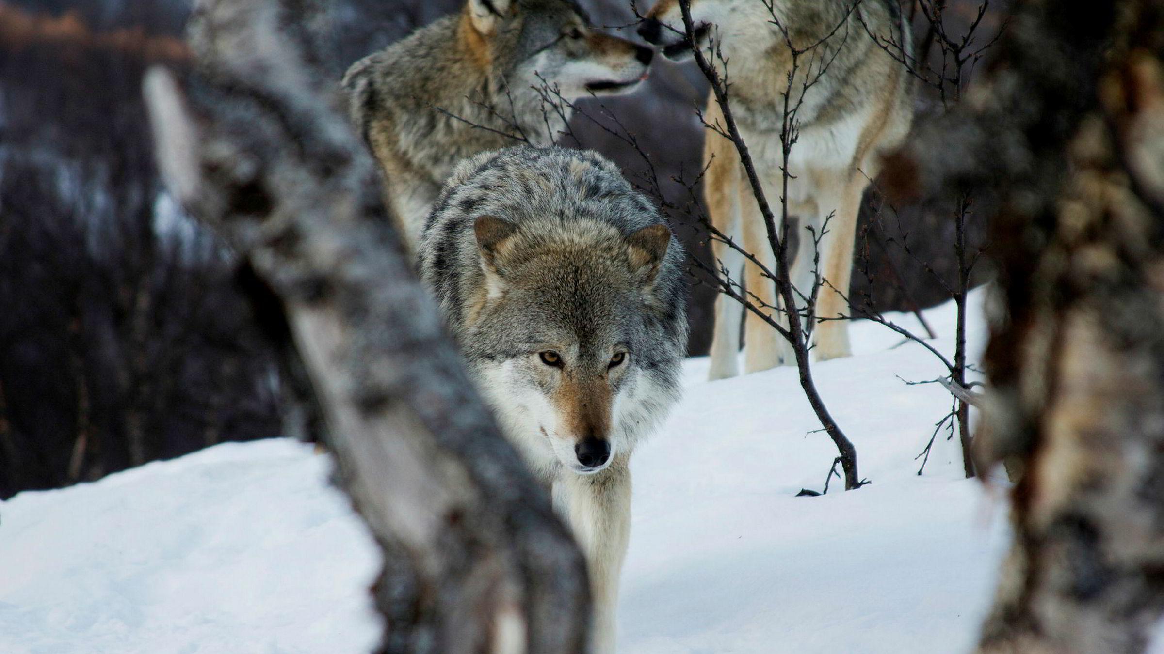 Norge kan ikke tillate endringer i naturmangfoldsloven som setter mindretallets jaktprivilegier høyere enn flertallets glede av rovdyrnatur, skriver artikkelforfatteren. Bildet er fra Polar Park, Bardu.