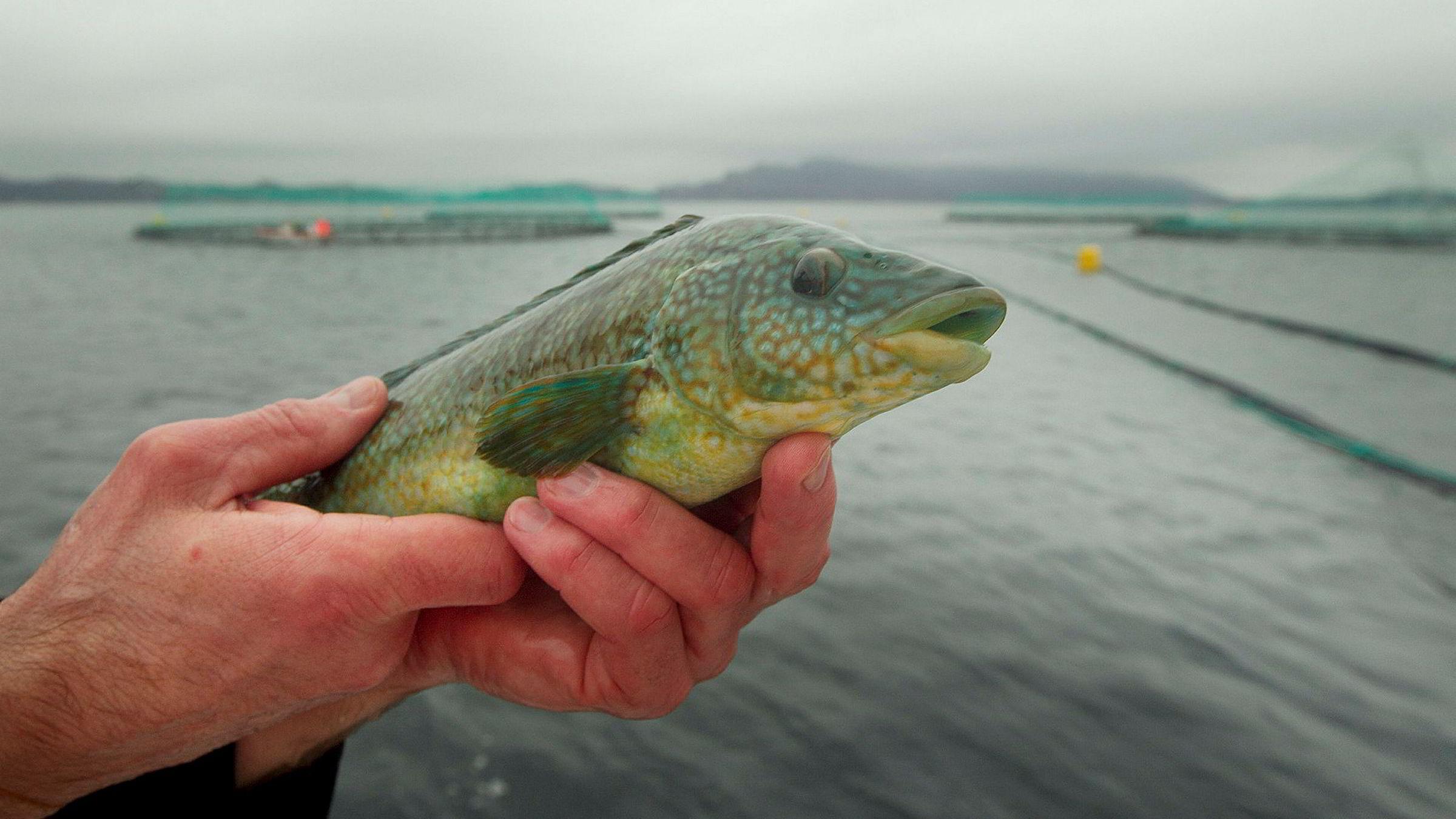 Fiskeriminister Per Sandberg har gitt vel 200 fiskere etter leppefisk (berggylt på bildet) til bruk i oppdrettsanleggene kvoter de nå omsetter for millionbeløp.