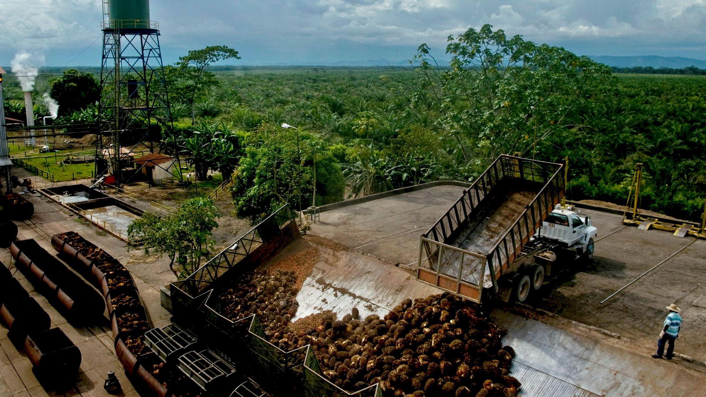 Årlig innhøsting av 1,2 millioner tonn palmefrukt gir 280 millioner liter tradisjonell biodiesel, som er nok til å bytte ut 7,5 prosent av det norske dieselforbruket, skriver artikkelforfatteren. Her fra Cumaral i Colombia.