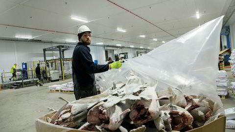 Losser Daniel Johnsen trives i det nye fryselageret på Tromsøya. Han løfter de 50 kilo tunge sekkene med en hånd. Han river plasten av en kasse med stortorsk
