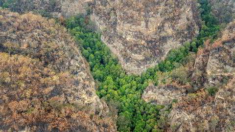 Brannmannskaper har klart å redde de sjeldne trærne, som har vært gjemt i en kløft i verdensarvområdet Blue Mountains nordvest for Sydney i New South Wales. Delstaten har vært rammet av en av de største skogbrannene i Australia de siste månedene.