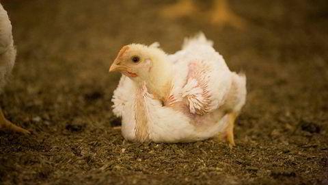 Kyllingrasen Ross 308 er avlet frem for ekstrem vekst. De fleste kyllingene du finner i butikken er av denne rasen.