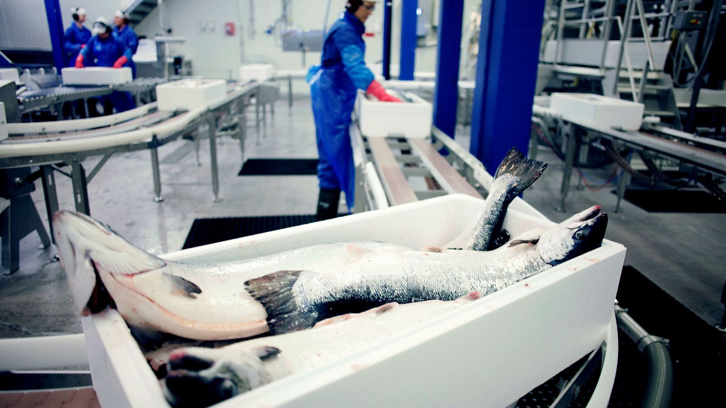 Verdens største lakseoppdretter Marine Harvest betaler ut 155 millioner euro, vel 1,4 milliarder kroner, i utbytte etter andre kvartal. Her fra selskapets oppdrettsanlegg Brattholmen utenfor Herøy i Nordland.