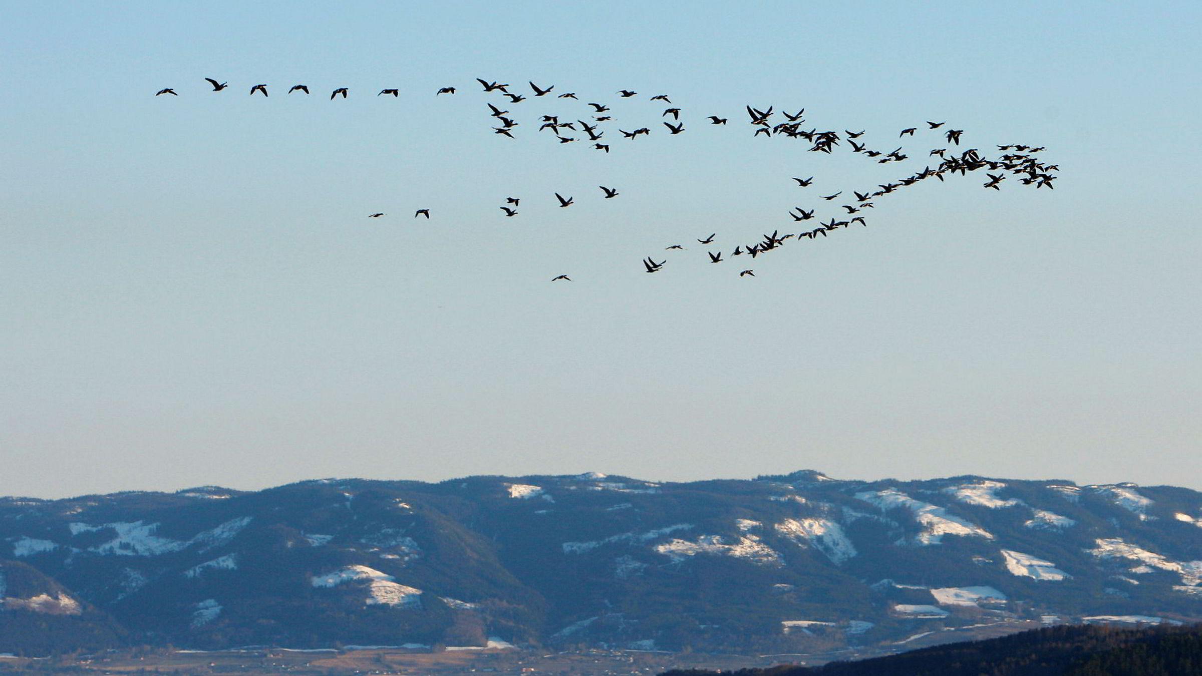 En flokk trekkfugler over Mjøsa ved Hamar, på vei «hjem» for sommeren.