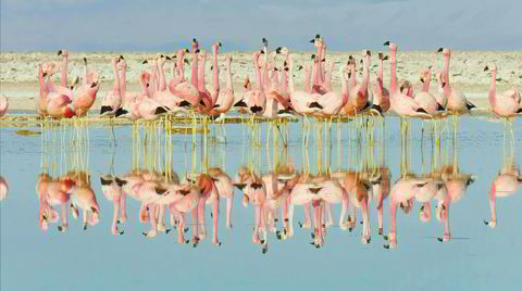 Fargenes verden. I Netflix-serien «Naturens farger» forteller David Attenborough at flamingoen er født hvit, men får sin sjeldne rosafarge fra maten den spiser. En syk flamingo blir straks hvit igjen.