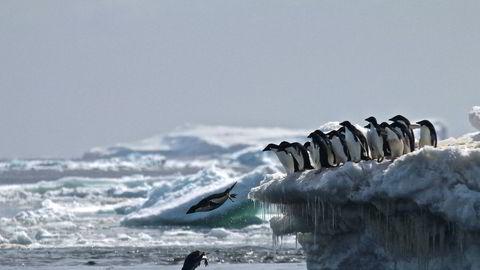 Adélie-pingviner stuper fra isen på Danger Islands i Antarktis. Totalt er et oppdaget 1,5 millioner av dem på stedet.