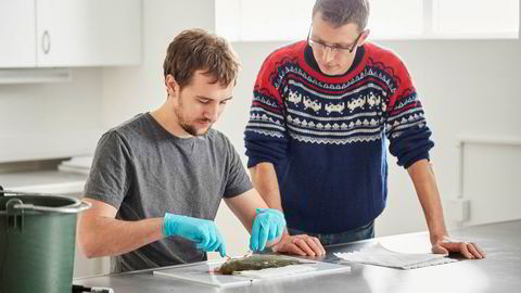 Pinsettarbeid. Sammen med doktorgradsstipendiat Thomas Harvey (til venstre) studerer forsker Jon Olav Vik laksens indre organer. Det kommer til nytte når man jobber fram en digital laksemodell i databasen