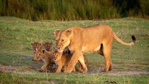 Løvinner lever gjerne i litt større fellesskap, der «kattungene» oppdras av «tanter». Løvinner som patruljerer, kikker seg oftere over skulderen dersom partneren ikke oppfattes som helt pålitelig, skriver Gunnar S. Eskeland i innlegget.