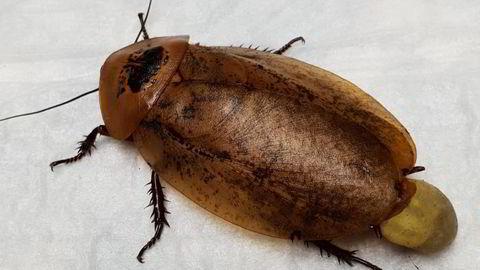 Kakerlakker er hardføre. De kan for eksempel leve en måned uten hode før de til slutt dør av vannmangel. Overlevelsestaktikken deres er usedvanlig enkel: Unngå fare.