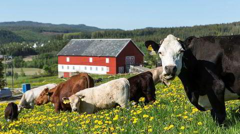 Norsk landbruk satser på den minst klimavennlige kua