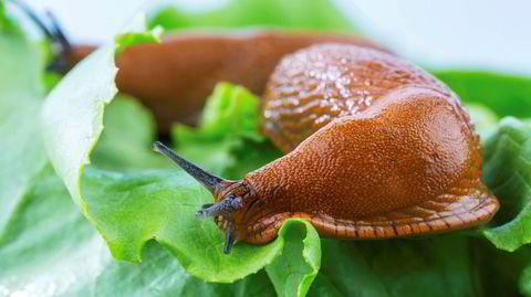 – Det gjelder å tenke som en snegle, sier Erling Fløistad, gartner og kommunikasjonsrådgiver i Nibio.