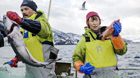 Jobben. Trond Isaksen og Sigrid Iversen haler inn dagens fangst utenfor Spildra. Paret driver eget firma som produserer boknafisk. Marine Harvest tilbød dem jobb på det foreslåtte nye oppdrettsanlegget. – Jeg sa nei, vi har en jobb – hvis dere ikke ødelegger den, sier Isaksen.