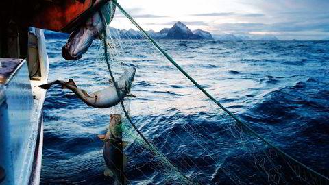 Havets gull. Den delikate og mineralske smaken av skrei får de fleste andre fisker til å blekne. Her fiskes det på havet ved Gryllefjord på utsiden av Senja. Foto: Cornelius Poppe /